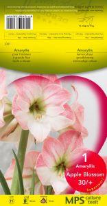 Graines semis amaryllis calibre 30 32 rose pochette h for Amaryllis graine