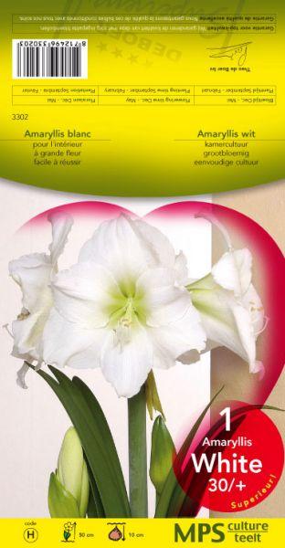 Graines semis amaryllis calibre 30 32 blanc pochette h for Amaryllis graine