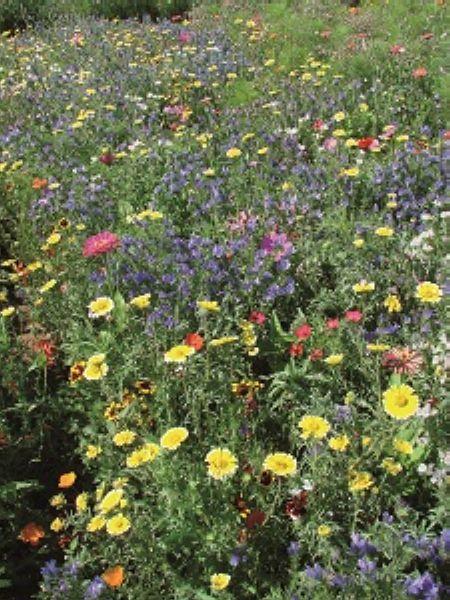 graines semis melange de fleurs annuelles tol rant au sec. Black Bedroom Furniture Sets. Home Design Ideas