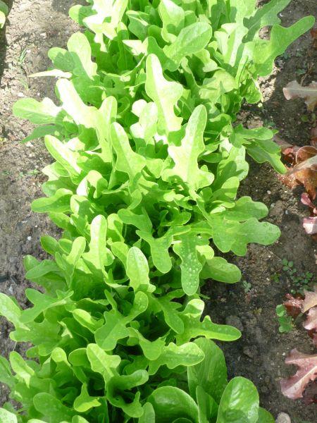 Graines semis laitue a couper feuille de chene blonde - Laitue a couper feuille de chene blonde ...