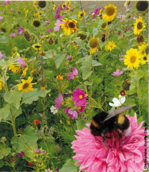graines semis melange de fleurs mellif res sp cial abeilles boite 100 g. Black Bedroom Furniture Sets. Home Design Ideas