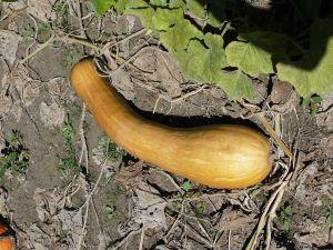 Graines semis courge longue de nice sachet 4 g - Courge de nice ...